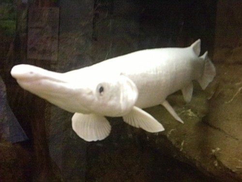 Albino alligator gar(Photo: U.S. Fish and Wildlife Service Southeast Region / CC BY 2.0)