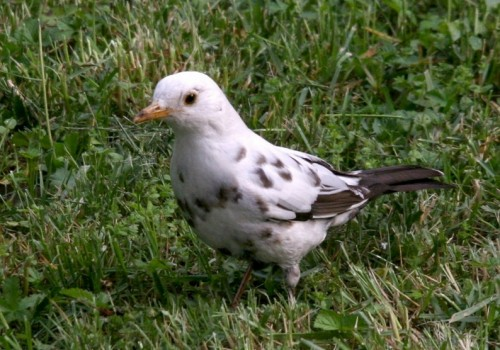 Albino blackbird (Photo: Michele Lamberti / CC BY 2.0)
