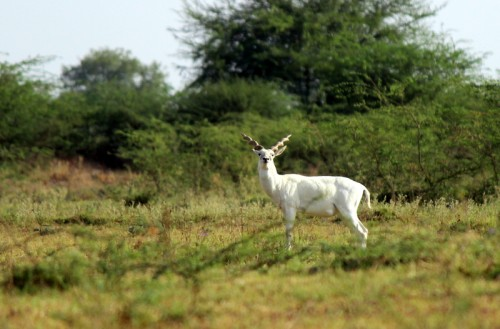 Albino blackbuck (Photo: © Bhattpratik89)
