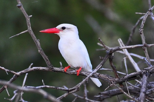 Albino brown-hooded kingfisher (Photo: Ian White / CC BY-ND 2.0)
