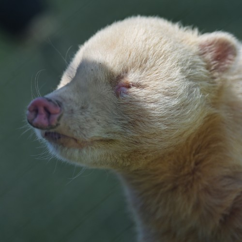 Albino coati (Photo: Tambako The Jaguar / CC BY-ND 2.0)