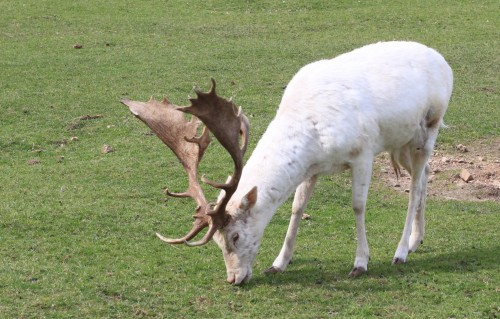 Albino stag (Photo: Adrian Korte / CC BY 2.0)