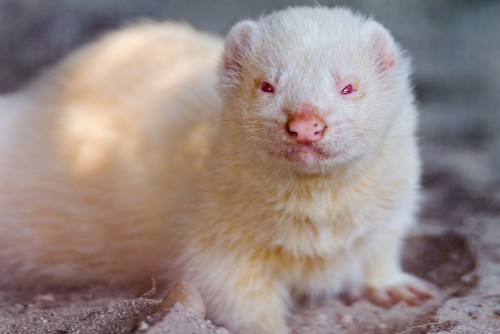 Albino ferret (Photo: Tambako The Jaguar / CC BY-ND 2.0)