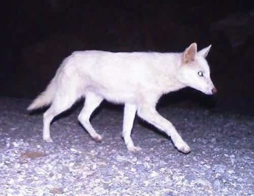Albino golden jackal