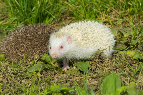 Albino hedgehog (Photo: © Belizar)