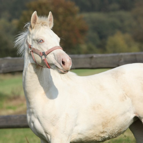 Albino horse (Photo: © Zuzule)