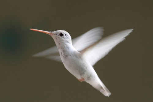 Albino/leucistic hummingbird (Photo: © Stevebyland)