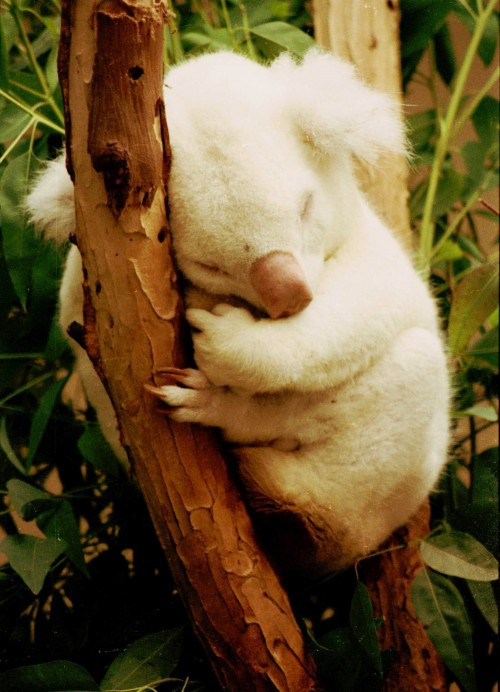 Albino koala (Photo: Bill Kuffrey / CC BY 2.0)