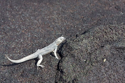 Albino lava lizard (Photo: Aaron Logan / CC BY 2.0)