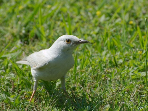 Albino mockingbird (Photo: glenn_e_wilson / CC BY 2.0)