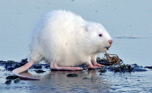 Albino muskrat (Photo: USFWS Mountain-Prairie / CC BY 2.0)