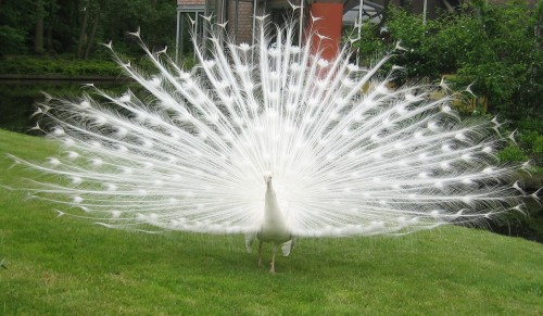 White Peacock (Photo: Nanimo / CC BY 2.0)