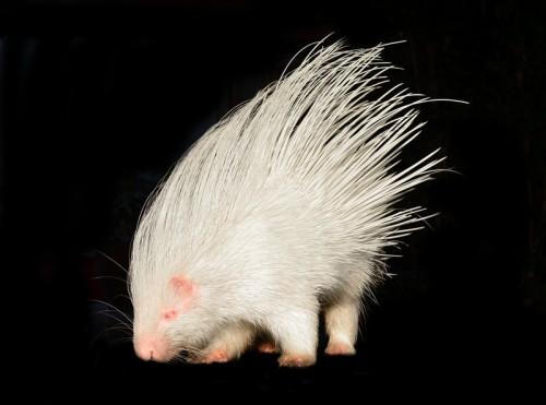 Albino porcupine (Photo: © Anankkml)