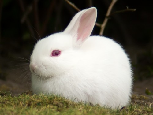 Albino rabbit (Photo: Tomi Tapio K / CC BY 2.0)