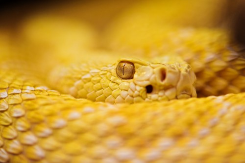 Albino rattlesnake (Photo: Tambako The Jaguar / CC BY-ND 2.0)