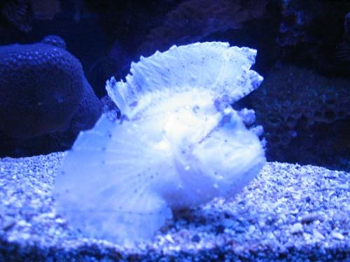 Albino scorpionfish (Photo: Makuahine Pa'i Ki'i / CC BY 2.0)