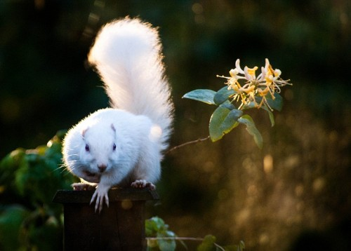 Albino squirrel (Photo: Lauren Liston / CC BY 2.0)