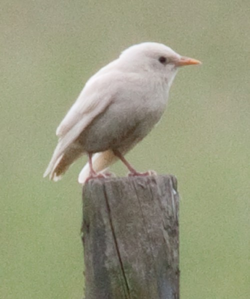 albino/leucistic starling  (Photo: barry jones / CC BY 2.0)
