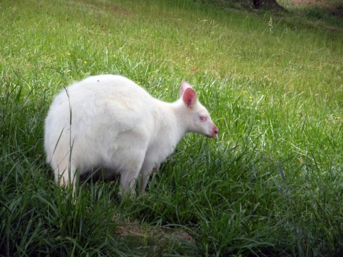 Albino Wallaby (Photo: thethrillstheyyield / CC BY ND 2.0)