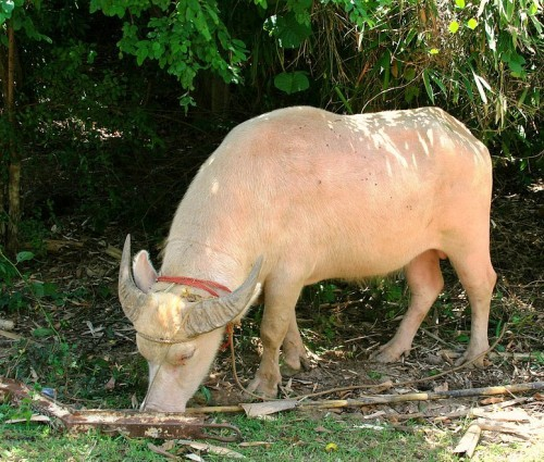 Albino water buffalo (Photo: Evelyn Avila / CC BY 2.0)