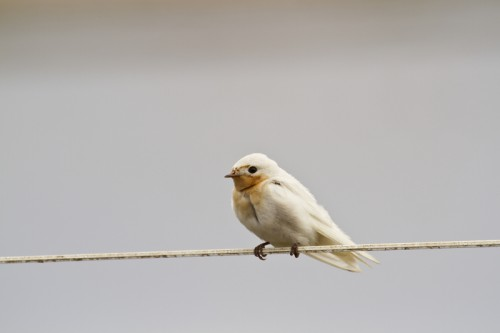 Leucistic welcome swallow