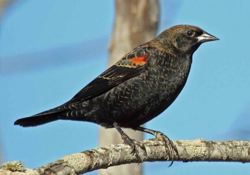 Blackbird (Foto: Mike Baird / CC BY 2.0)