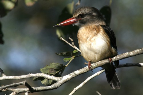 Ordinary brown-hooded kingfisher (Photo: Stuart Bassil / CC BY 2.0)