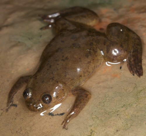 African clawed frog (Photo: Brian Gratwicke / CC BY 2.0)