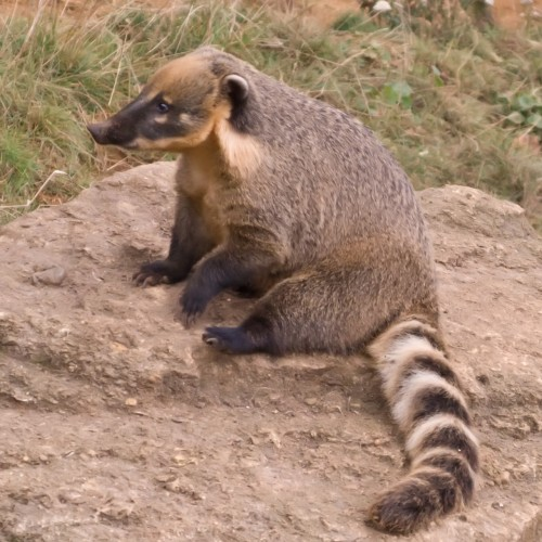 Ordinary coati (Photo: Neil McIntosh / CC BY 2.0)