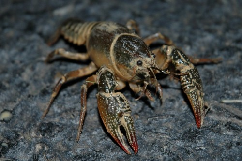 Ordinary crawfish (Photo: John / CC BY 2.0)