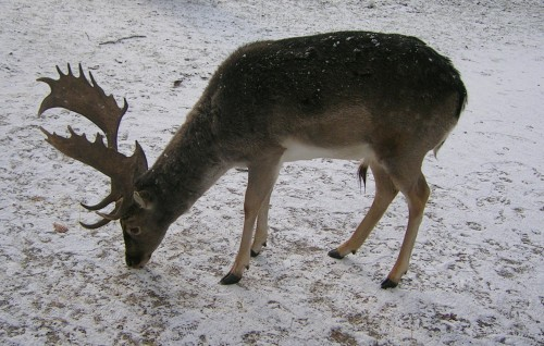 Stag on snow