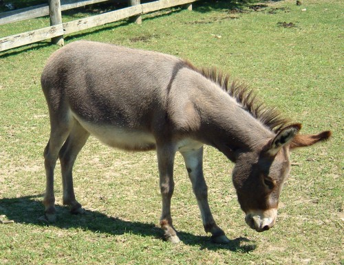 Ordinary donkey