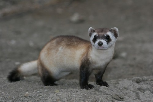 Ordinary ferret (Photo: USFWS Mountain-Prairie / CC BY 2.0)