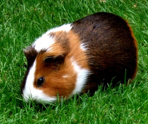 Ordinary guinea pig (Photo: David Masters / CC BY 2.0)