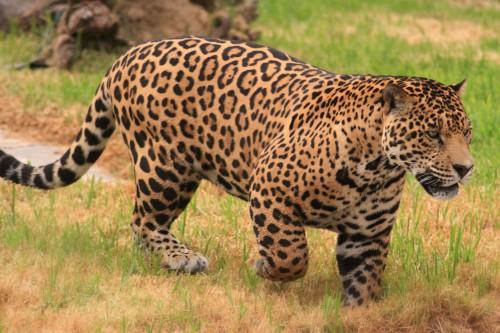 Ordinary jaguar