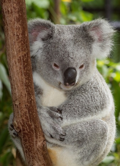 Common Koala (Photo: Brian Gratwicke / CC BY 2.0)