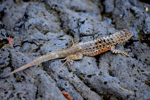 Lava lizard (Photo: Paul Krawczuk / CC BY 2.0)
