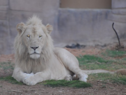 Leucistic lion (Photo: shankar s. / CC BY 2.0)