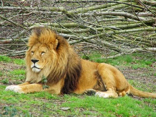 Ordinary lion (Photo: Tambako The Jaguar / CC BY 2.0)