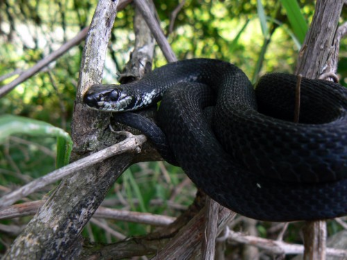 Melanistic snakes (Photo: Benny Mazur / CC BY 2.0)