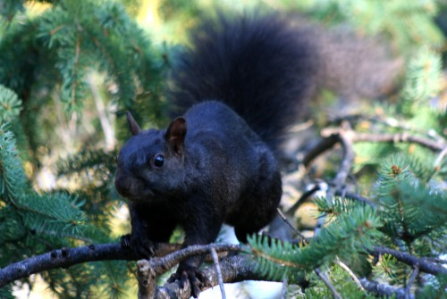 Melanistic squirrel (Photo: Robert Taylor / CC BY 2.0)