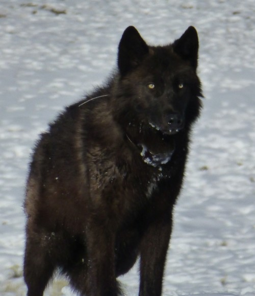 Black wolf (Photo: USFWS Mountain-Prairie / CC BY 2.0)