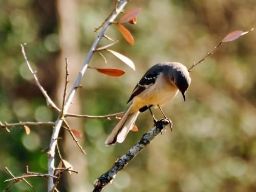 Ordinary mockingbird (Photo: J Labrador / CC BY 2.0)