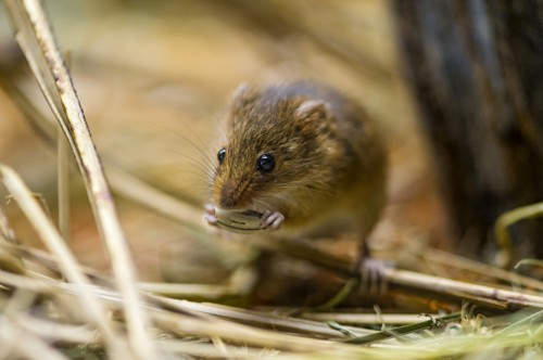 Ordinary mouse (photo: Tambako The Jaguar / CC BY-ND 2.0)