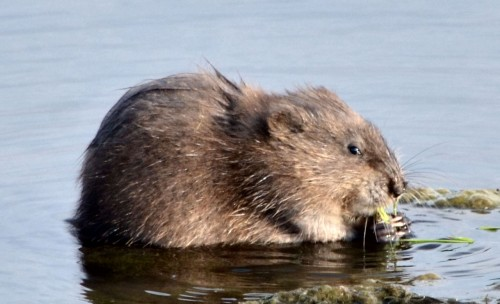 Muskrat (Photo: CheepShot / CC BY 2.0)