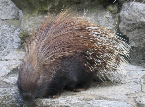 Ordinary porcupine