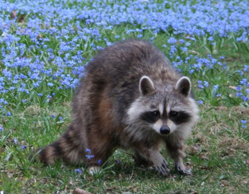 Ordinary raccoon