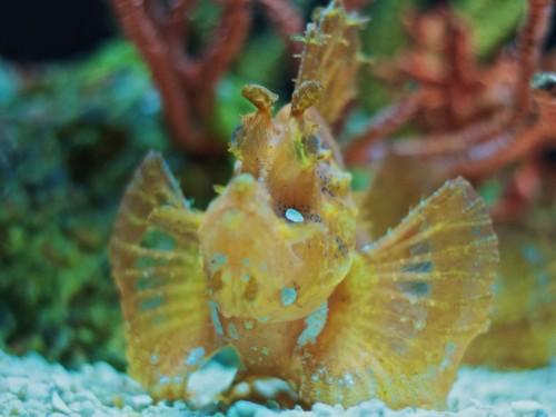 Scorpionfish (Photo: Michael Bentley / CC BY 2.0)