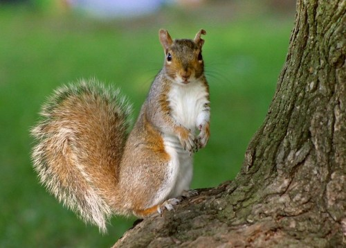 Ordinary squirrel (Photo: Rene Schwietzke / CC BY 2.0)