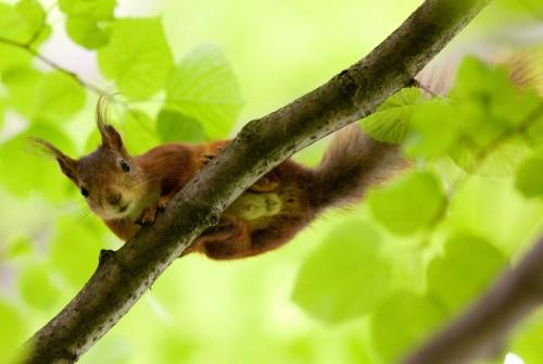 Ordinary squirrel (Photo: Håkan Dahlström / CC BY 2.0)